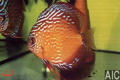 Discus Red silk