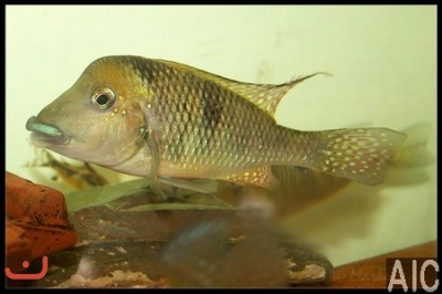 Gymnogeophagus sp Catalan