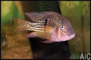 Gymnogeophagus sp Sarandi
