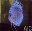 Discus Brillant blu