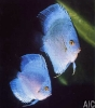 Discus Diamond ocean green