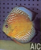 Discus marrone Alenquer