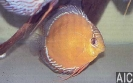 Discus marrone Rio Tapajos2