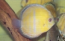Discus marrone Rio Tapajos