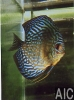 Discus Pearl