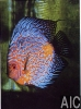 Discus Pigeon blu