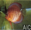 Discus Santarem