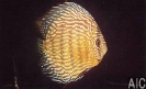 Discus Turchese rosso 2