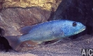 Aristochromis christyi (M)