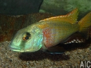 Buccochromis nototaenia