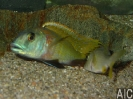 Buccochromis nototaenia breed