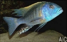 Buccochromis rhoadesi