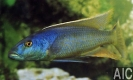 Champsochromis caeruleus