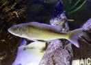 Champsochromis caeruleus (F)
