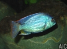 Chilotilapia roadesi M