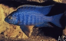 Copadichromis azureus (M)
