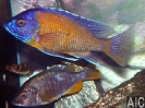 Copadichromis borley Kadango