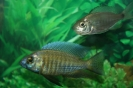 Copadichromis cyaneus 
