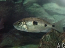Copadichromis trewavase Msisi (F).