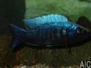 Copadichromis trewavase Msisi (M)