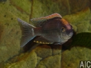 Copadichromis virginalis fire crest gome