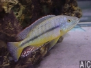 Dimidiochromis kiwinge