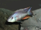 Dimidiochromis strigatus (M)