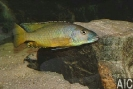 Exochromis anagenys