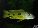Exochromis anagensis 1