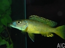 Exochromis anagensis 2