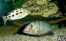 Fossorochromis rostratus