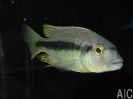 Hemitaenichromis holotaenia