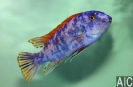 Labeotropheus trewavasae Thumbi West2