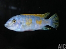 Labeotropheus trewavase red top Thumbi west ob