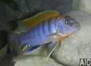 Labidochromis hongi