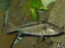 Licnochromis acuticeps breed (F)