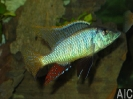 Licnochromis acuticeps breed (M)