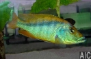 Mylochromis epichorialis