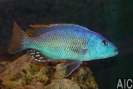 Nimbochromis fuscotaeniatus