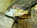 Nimbochromis Polistigma