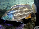 Nimbochromis polystigma M