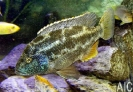 Nimbochromis polystigma (M)