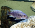 Petrotilapia sp. Blue Nkatae (M)