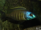 Placidochromis sp. mbamba gold