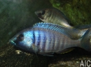 Placidochromis electra 'Mozambico' M