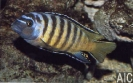 Pseudotropheus sp gold bar