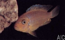 Pseudotropheus sp Msobo heteropictus (F)