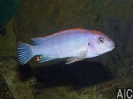 Pseudotropheus sp Red Top Ndumbi (M)