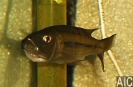 Rhamphochromis Macrophthalmus (F)