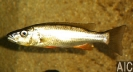Rhamphochromis Macrophthalmus (M)